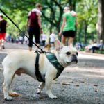 french-bulldog-in-park